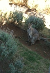 This little kangaroo and her joey were just outside the window as we ate lunch.